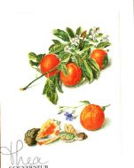 Oranges and Mandarins 3061 / Апельсины и мандарины